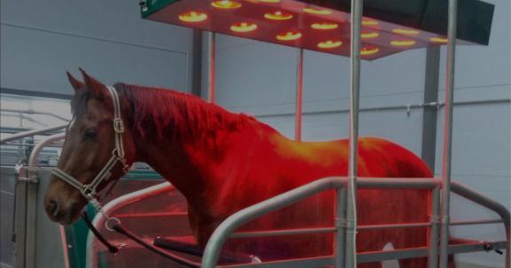 Инфракрасная терапия лошадей, infrared therapy, vterinary, ветеринария, реабилитация лошадей