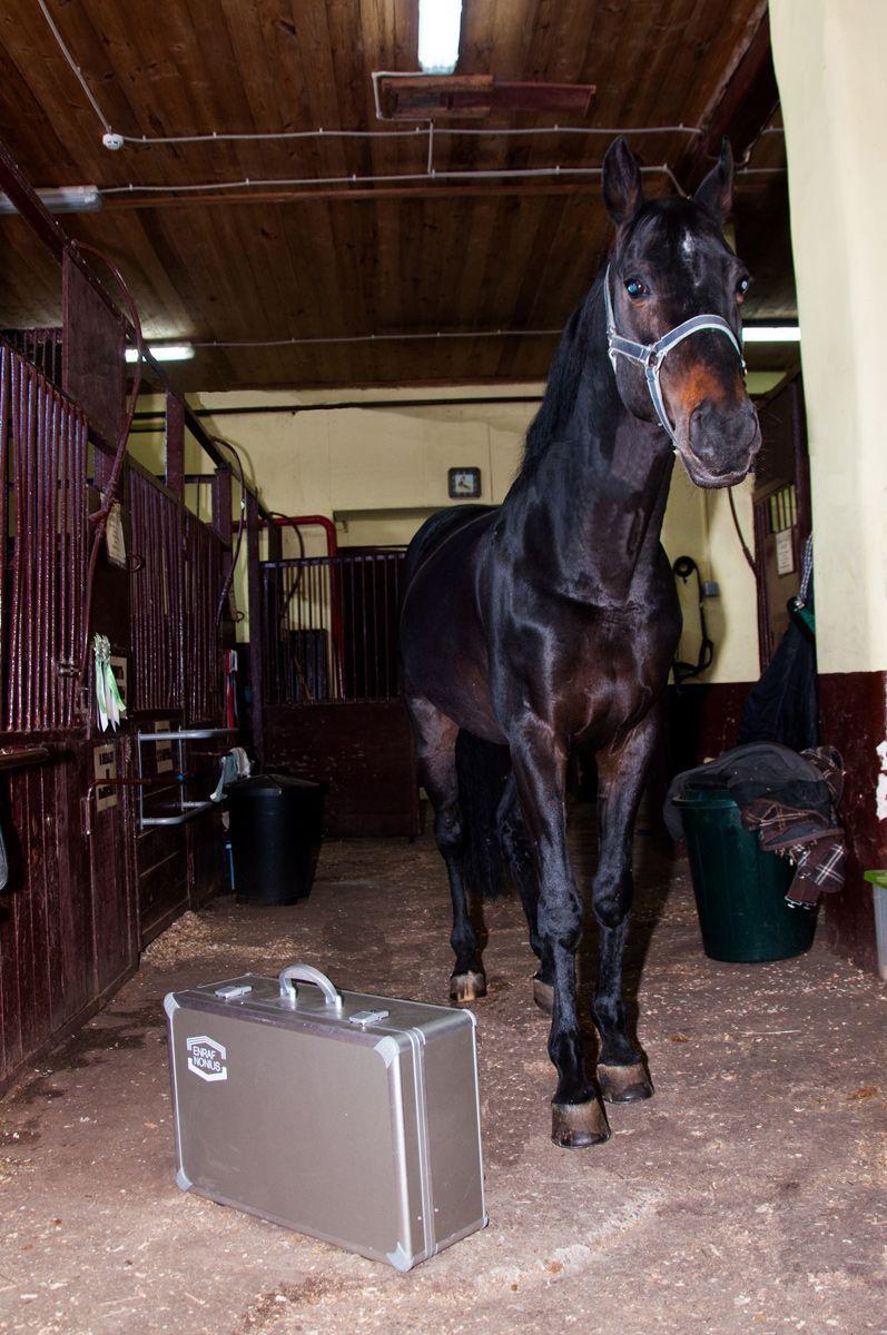 Endopuls 811, Endopuls, ветеринария, лечение лошадей, ударно-волновая терапия, УВТ, УВТ для лошадей, УВТ для ветеринарии