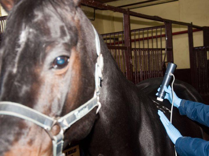Применение ударно-волновой терапии для лечения спортивных лошадей